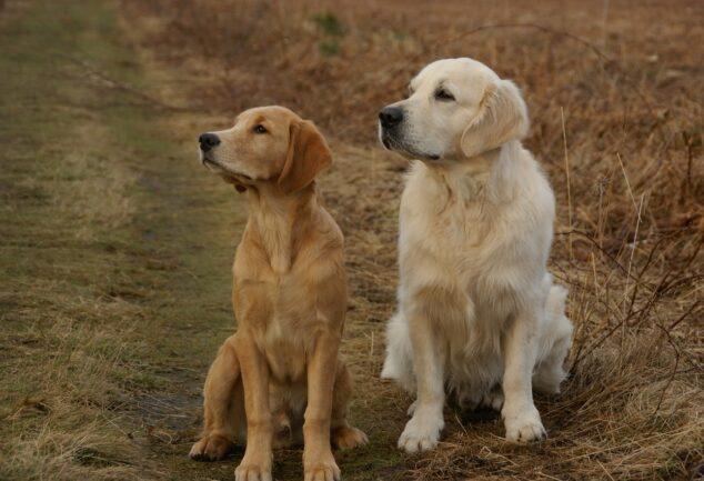 Golden Retriever Dogs Pets Retriever Dog Retrieve